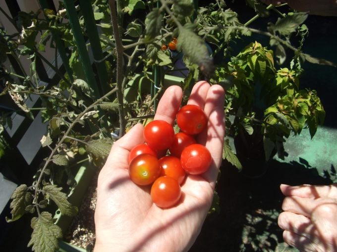 ベランダ菜園「ミニトマト」